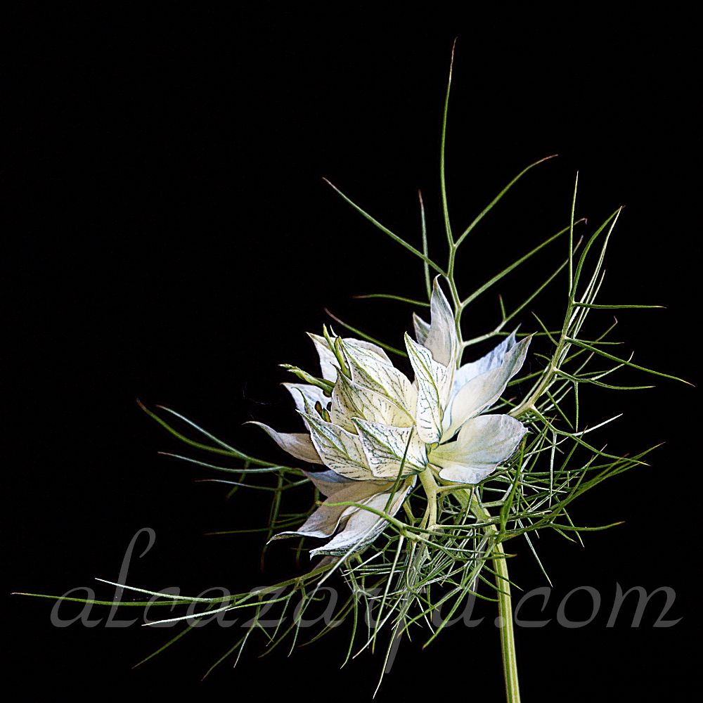 Nigella damascena Ref-0240