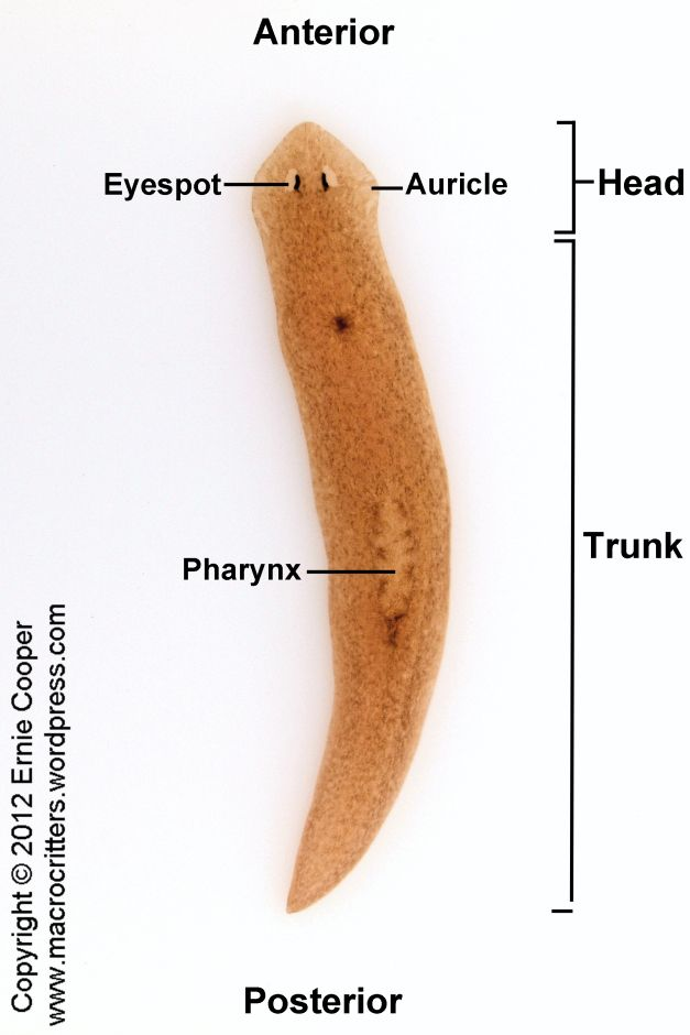 Labelled Diagram Of A Planarian Electrical Work Wiring Diagram
