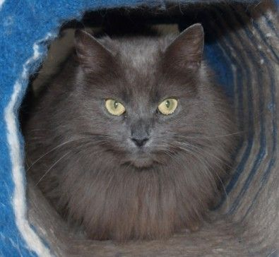 Grey Long Hair Cat Breeds Female Grey Domestic Long Haired Cat Cats Long Haired Cats Cats And Kittens
