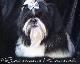 Richmond Kennel Shih Tzu Dogs Puppies Pinterest Shih Tzu
