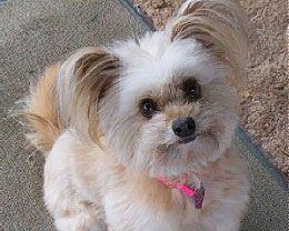 Adorable Maltese Pomeranian mix | My Style | Pinterest ...