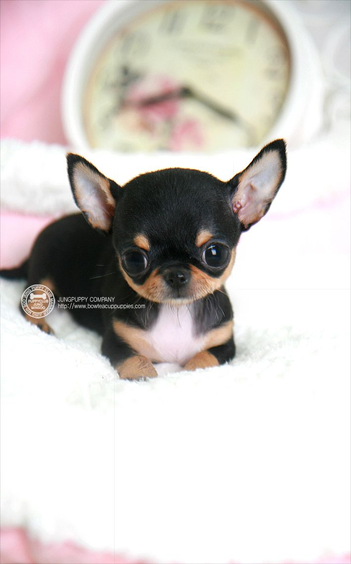 BOWPUP ☆Teacup puppy for sale☆ Micro teacup chihuahua