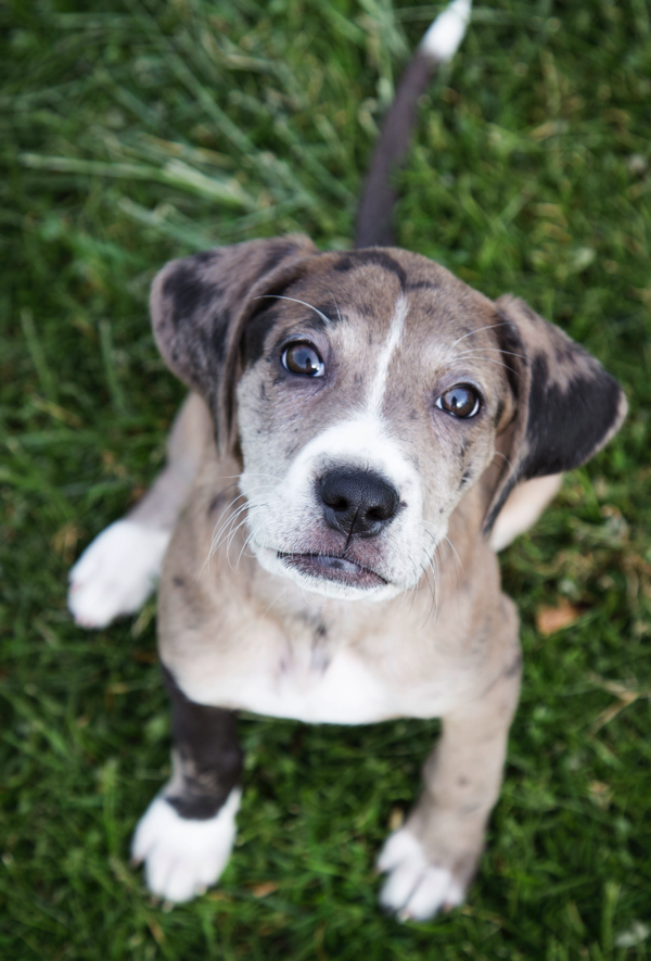 Catahoula Leopard Dogs Dog
