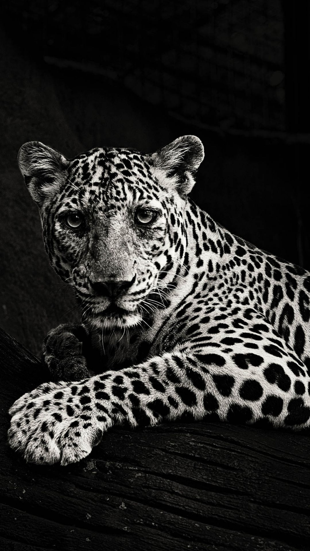 Black And White Predator Leopard Wallpaper Leopard Wallpaper Animals Black And White Animal Photography