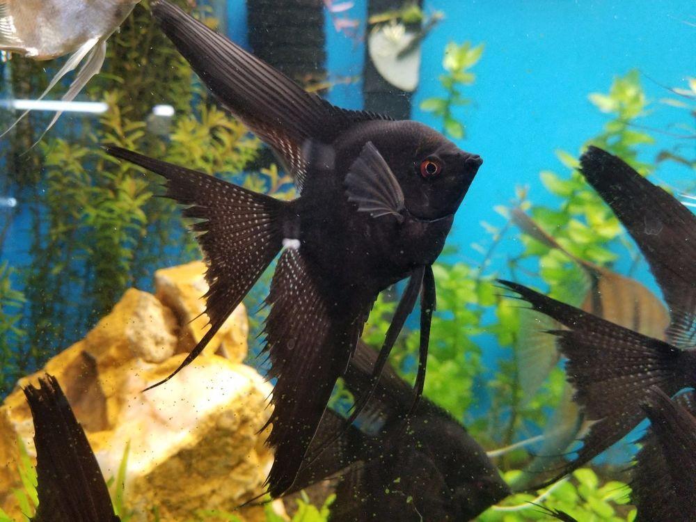 2 Fully Grown Black Veil Angel Fish Fresh Water Live Angelfish Large 7 Inches Angel Fish Freshwater Aquarium Fish Aquarium Fish