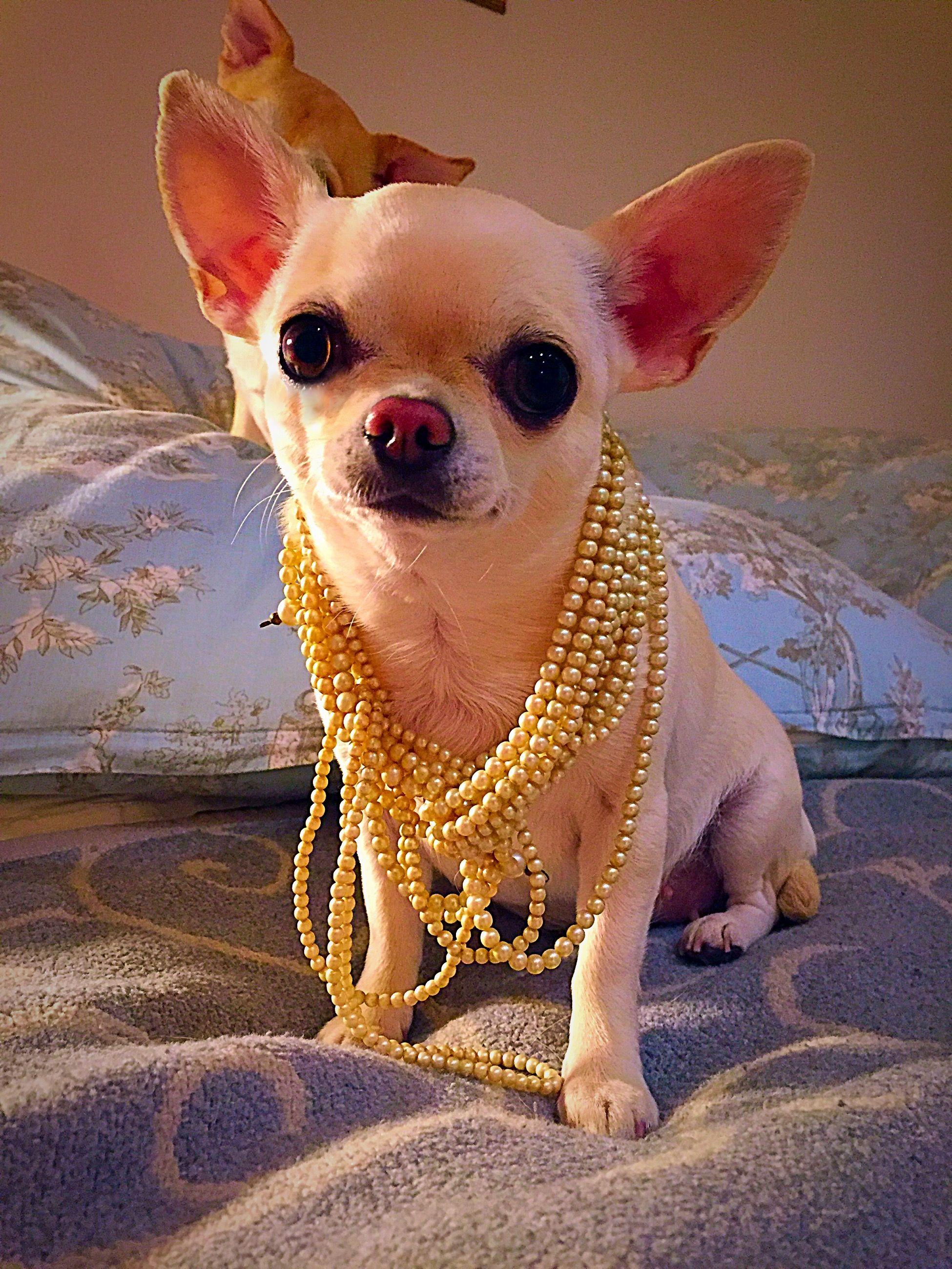 Pin By Kathy Verrone On Chihuahua Cuties Cute Chihuahua