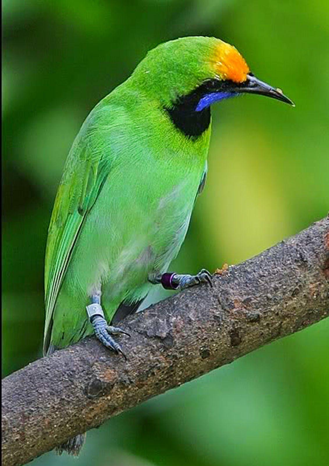 Burung Cucak Ijo Pet Birds Bird Colorful Birds