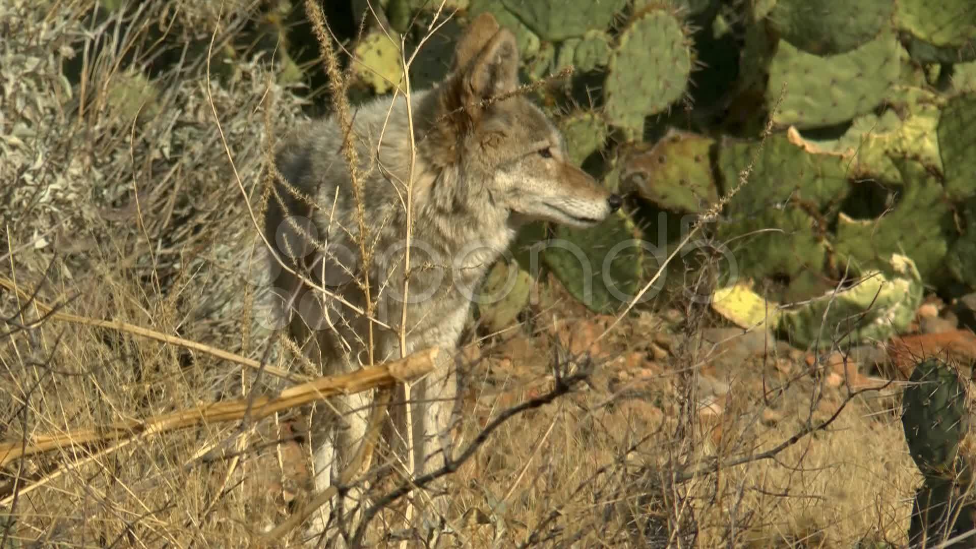 Coyote Arizona Landscape Stock Footage,ArizonaCoyote
