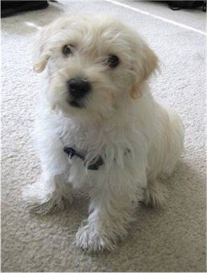 Westiepoo West Highland White Terrier Poodle Mix Info Puppies