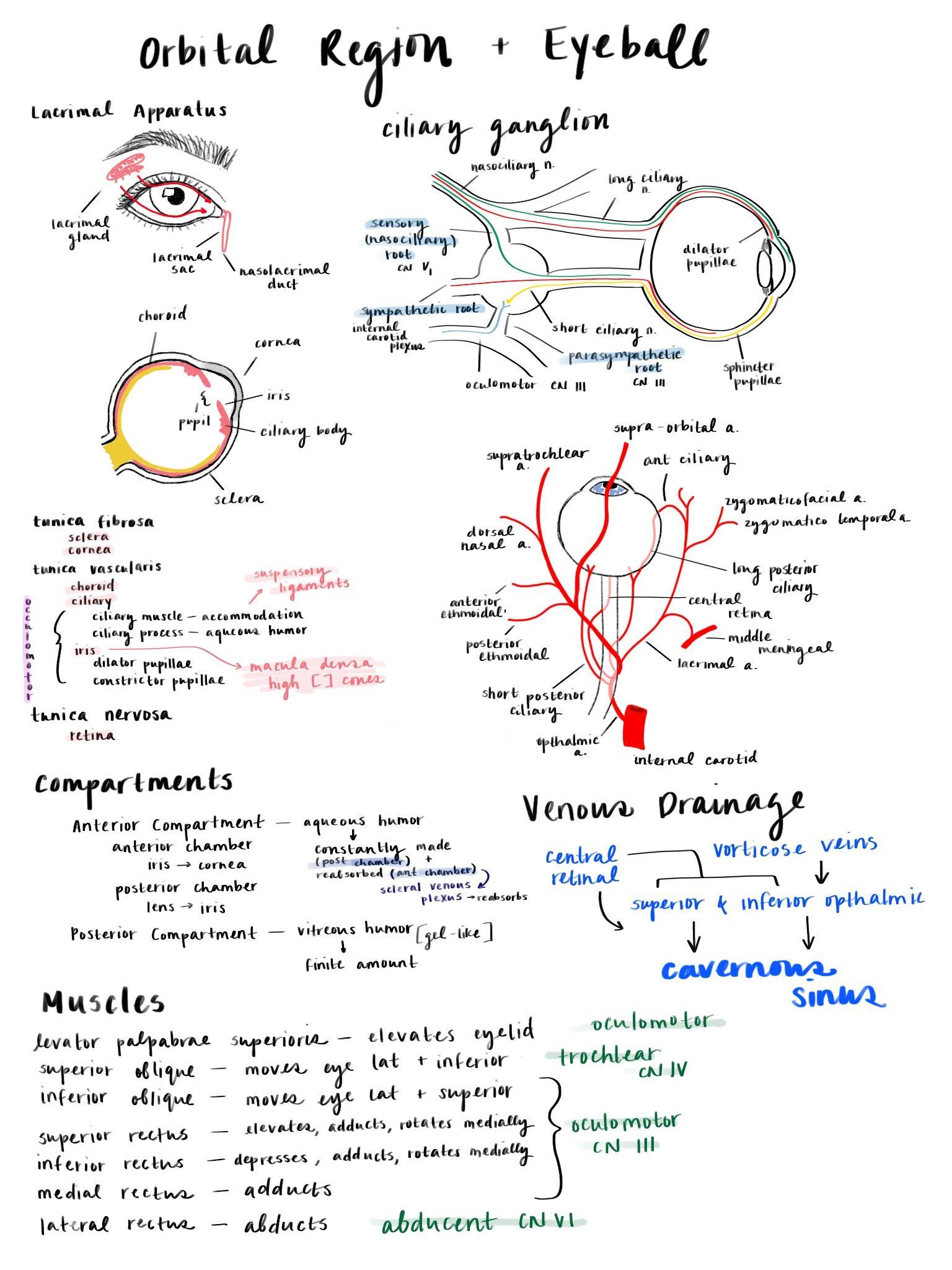 Orbital Region Medschoolnotes Medschool Eyeanatomy Eye