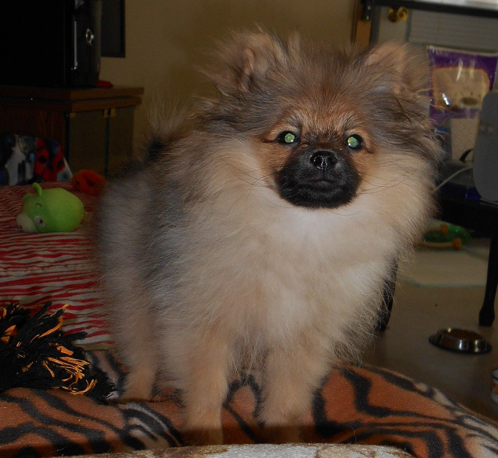Corduroy The Pomeranian Puppy With An Evil Look About Him Lol