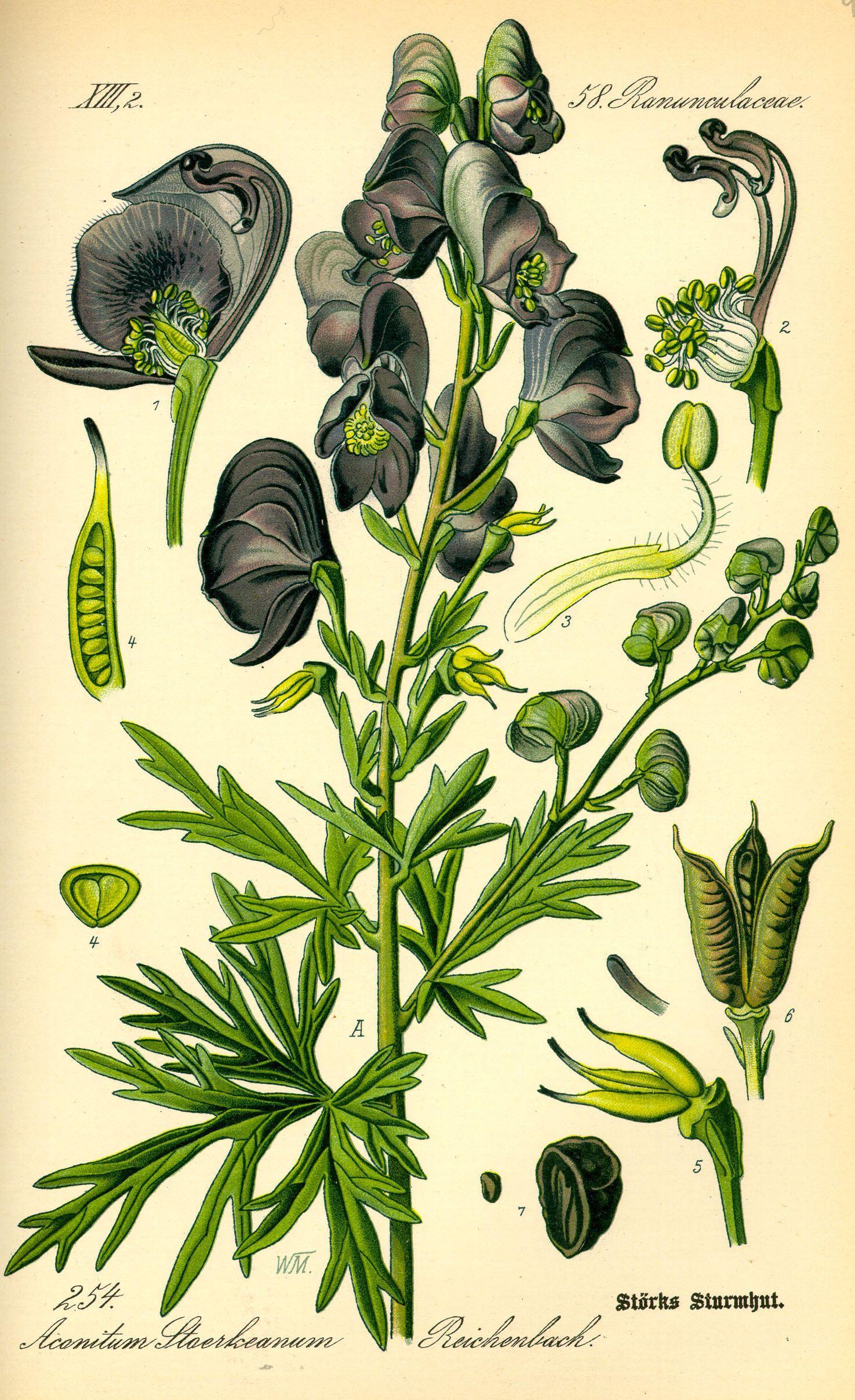 Blauer Eisenhut Botanische Abbildungen Botanische Zeichnungen Pflanzenzeichnung
