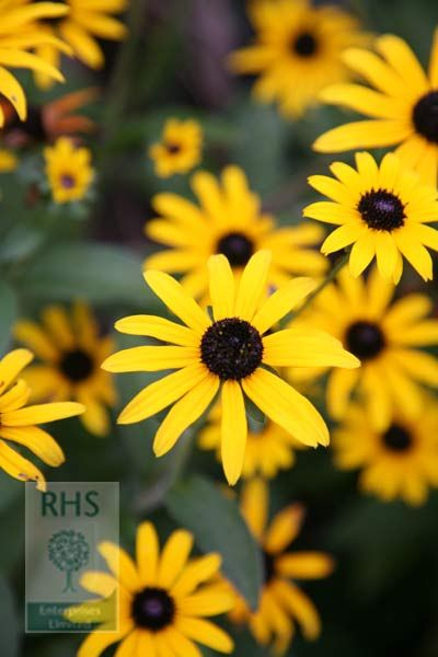 Pin By The Rhs On Bujo Pics Black Eyed Susan Plants Winter Plants These disturbing youtube videos have a surreal, dreamlike quality to them, and. black eyed susan