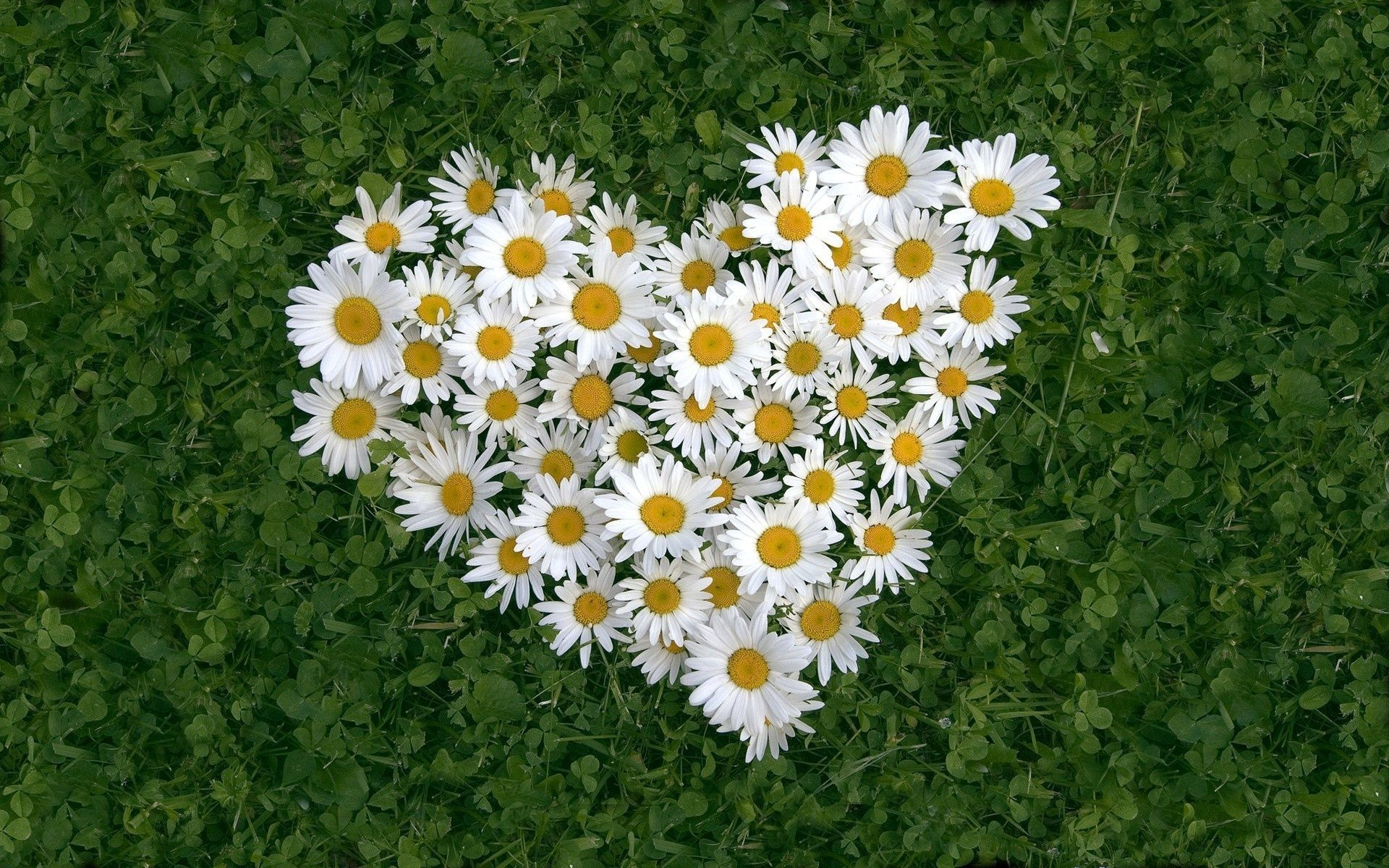 Heartshaped white daisy of love Wallpaper 1920x1200