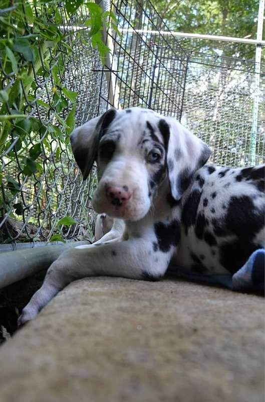Great Dane Dog Puppy Dogs Greatdane Dogs Breed
