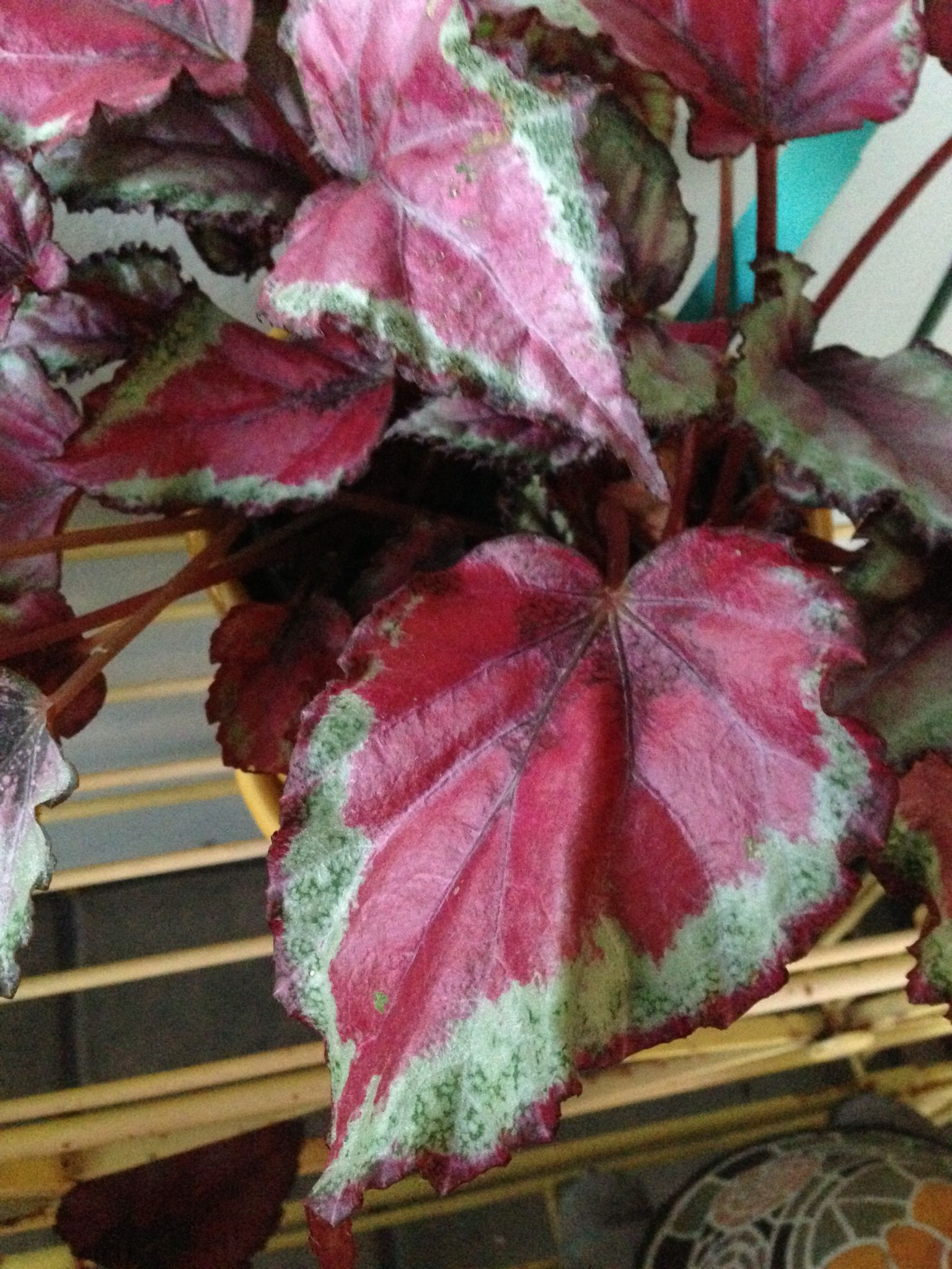 Begonia Rex Spitfire Begonia Orchid Care Houseplants