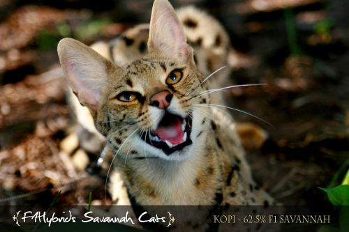 I would please like a savanah cat please!  A F1 breed too.