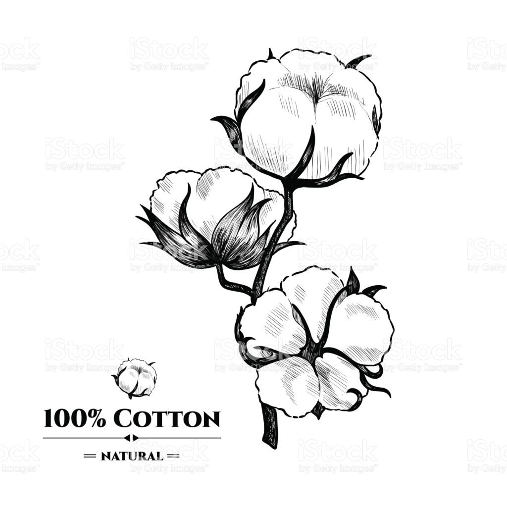 Image Result For Cotton Plant Drawing Plant Drawing Cotton