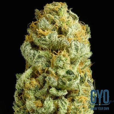 Dinafem Critical Cheese Feminised Weed Seeds: This outstanding plant is hardy, easy-to-grow and fast-flowering, and it delivers big, heavy, compact buds covered in resin. Critical Cheese is one heck of a plant and it truly caters for lovers of both Critical and Cheese.