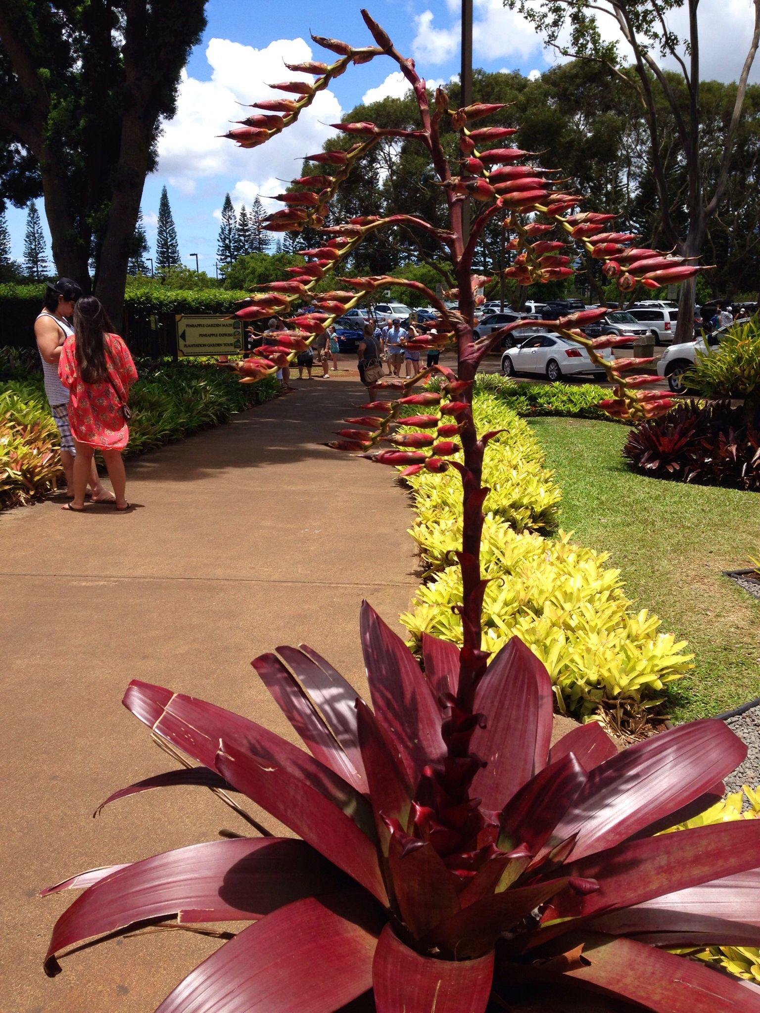Bromeliads bromeliads plants locals