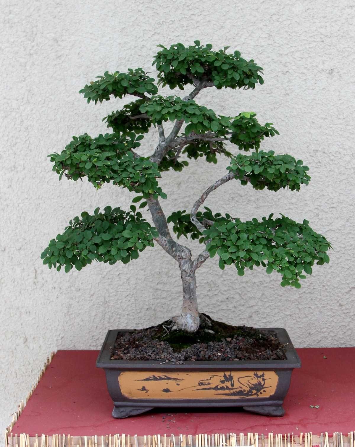 Bonsai Baum Pflege Pdf Bonsai Felsenkirsche