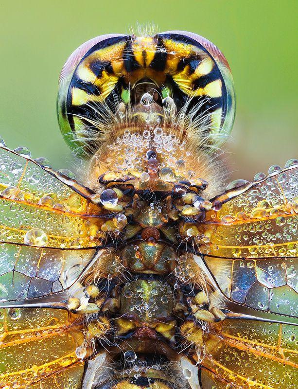 Yellow-winged Darter II