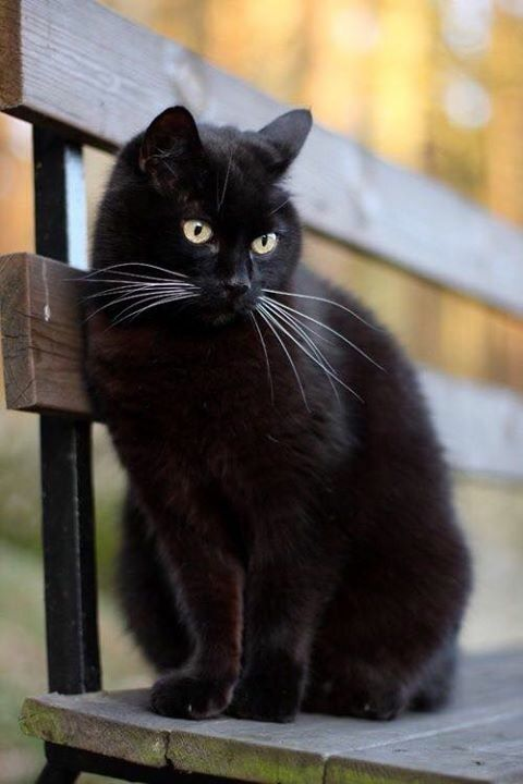 beautiful black cat ~ love the whiskers!