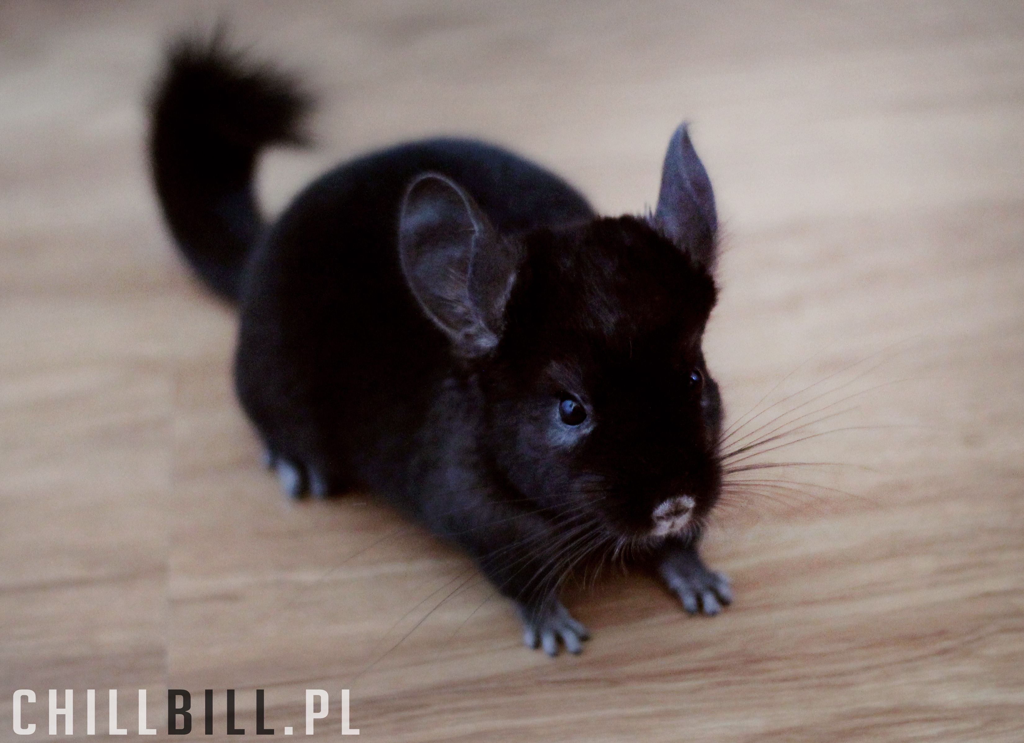 Billy Chinchilla Extra Dark Ebony Animals Friends My Animal Animals
