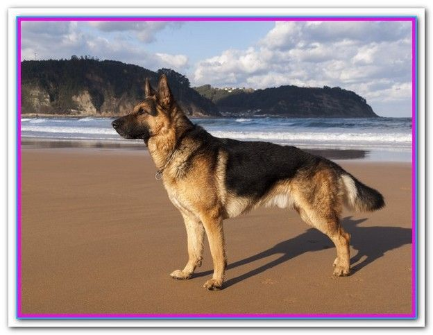 What S The Best Dog Food For German Shepherds Best Dog Food