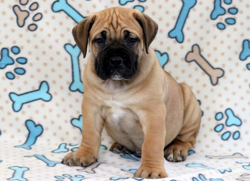 Boerboel Puppy For Sale In Mount Joy Pa Adn 71304 On Puppyfinder Com Gender Male Age 8 Weeks Old Puppies For Sale Puppies Cute Puppies