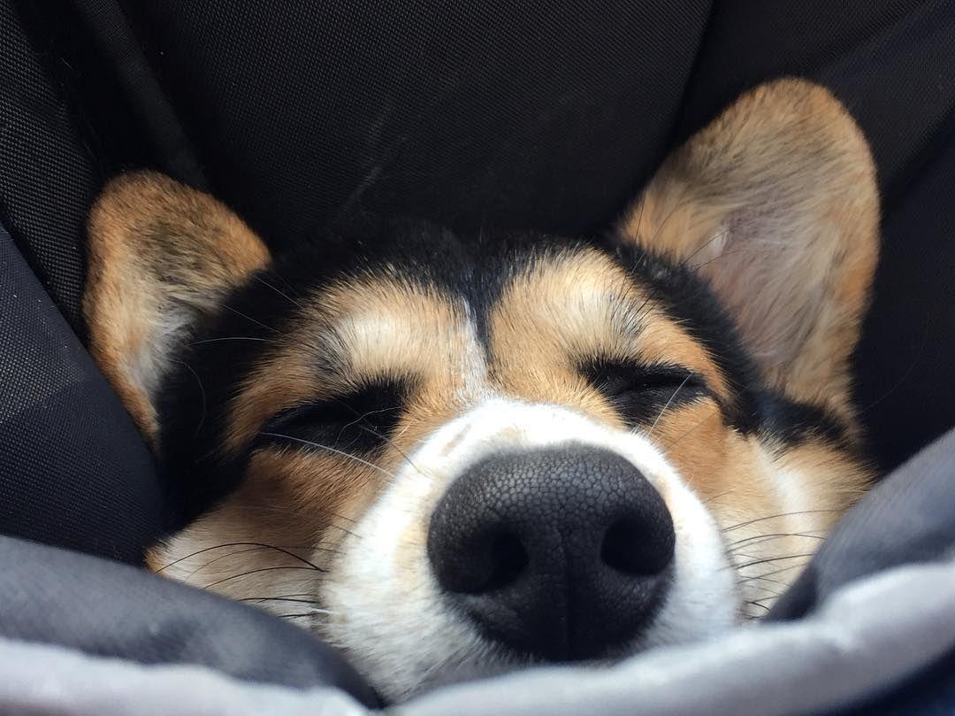 A Might Fine Snoot Corgi Fluffy Puppies Cute Animals