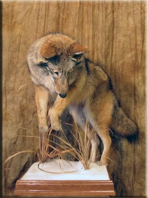 Coyote Mounts Animal Taxidermy Coyote Mounts Taxidermy Mounts