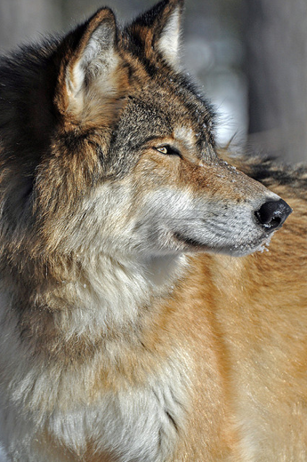 WOLVES: Photo