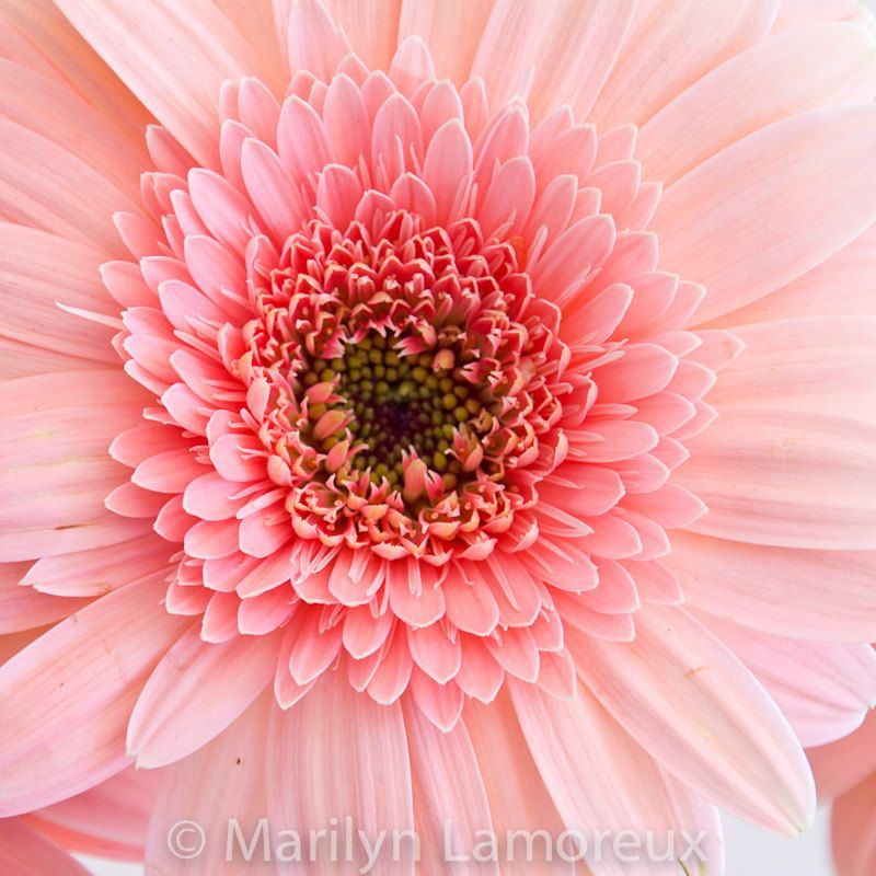 Pink Gerbera Daisy Google Search Flower Art Flowers Pink Gerbera