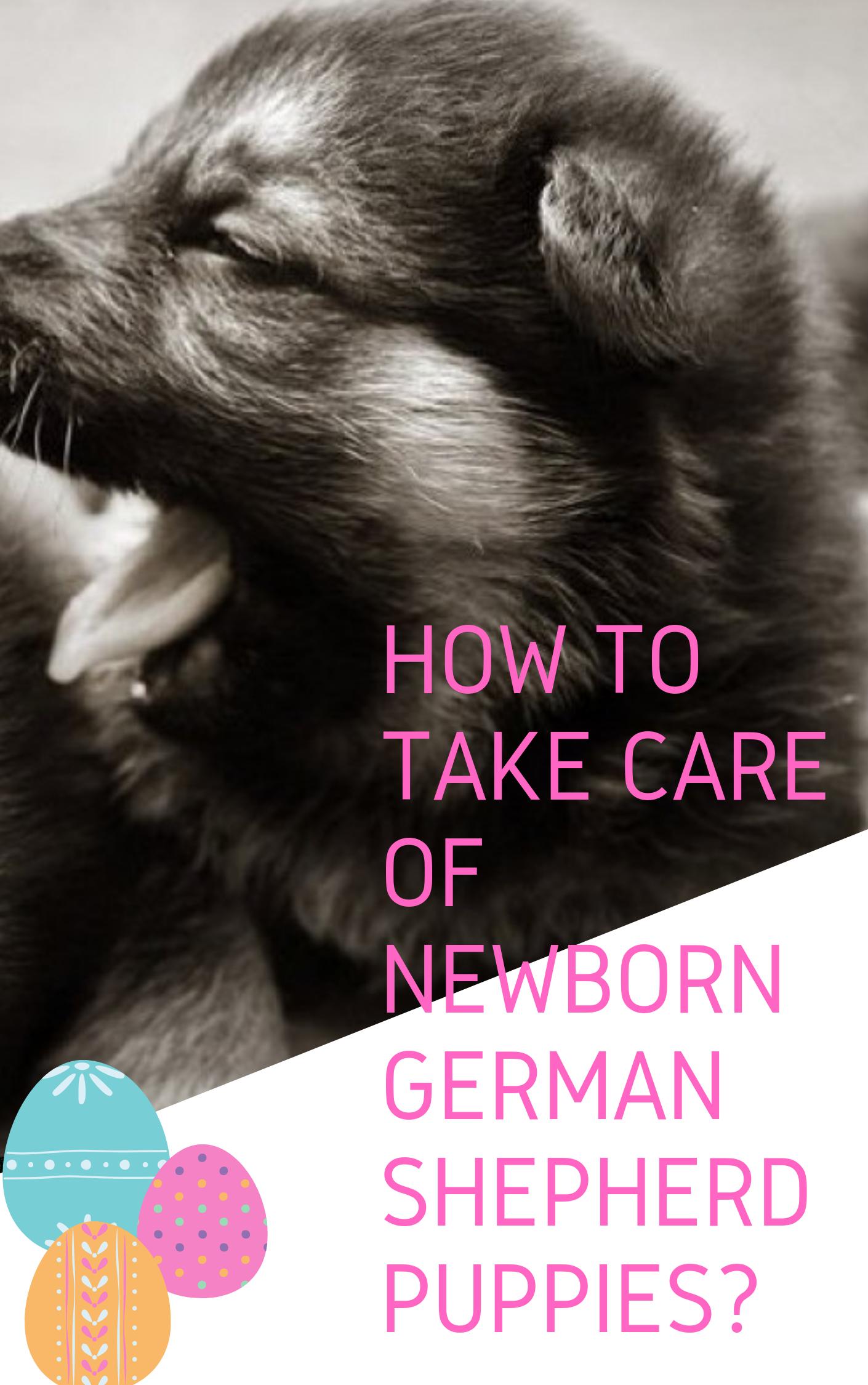 How To Take Care Of Newborn German Shepherd Puppies Gshepherds German Shepherd Puppies Shepherd Puppies German Shepherd Training