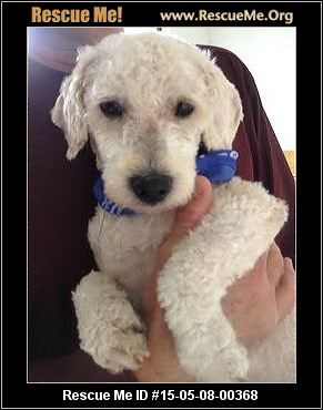 Rescue Me Id 15 05 08 00368shiloh Male Bichon Frise Mix Age