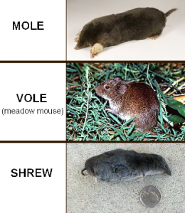 Do You Know What S Tearing Up You Garden And Backyard Is It A Mole Vole Or Shrew Knowing The Right One Determines The Right Mole Moles In Yard Pest Control
