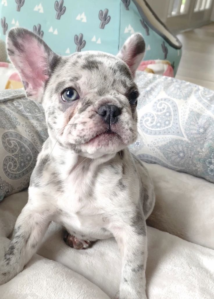French Bulldog Puppies For Sale in Florida | AKC French Bulldogs FL - Poetic French Bulldogs - #