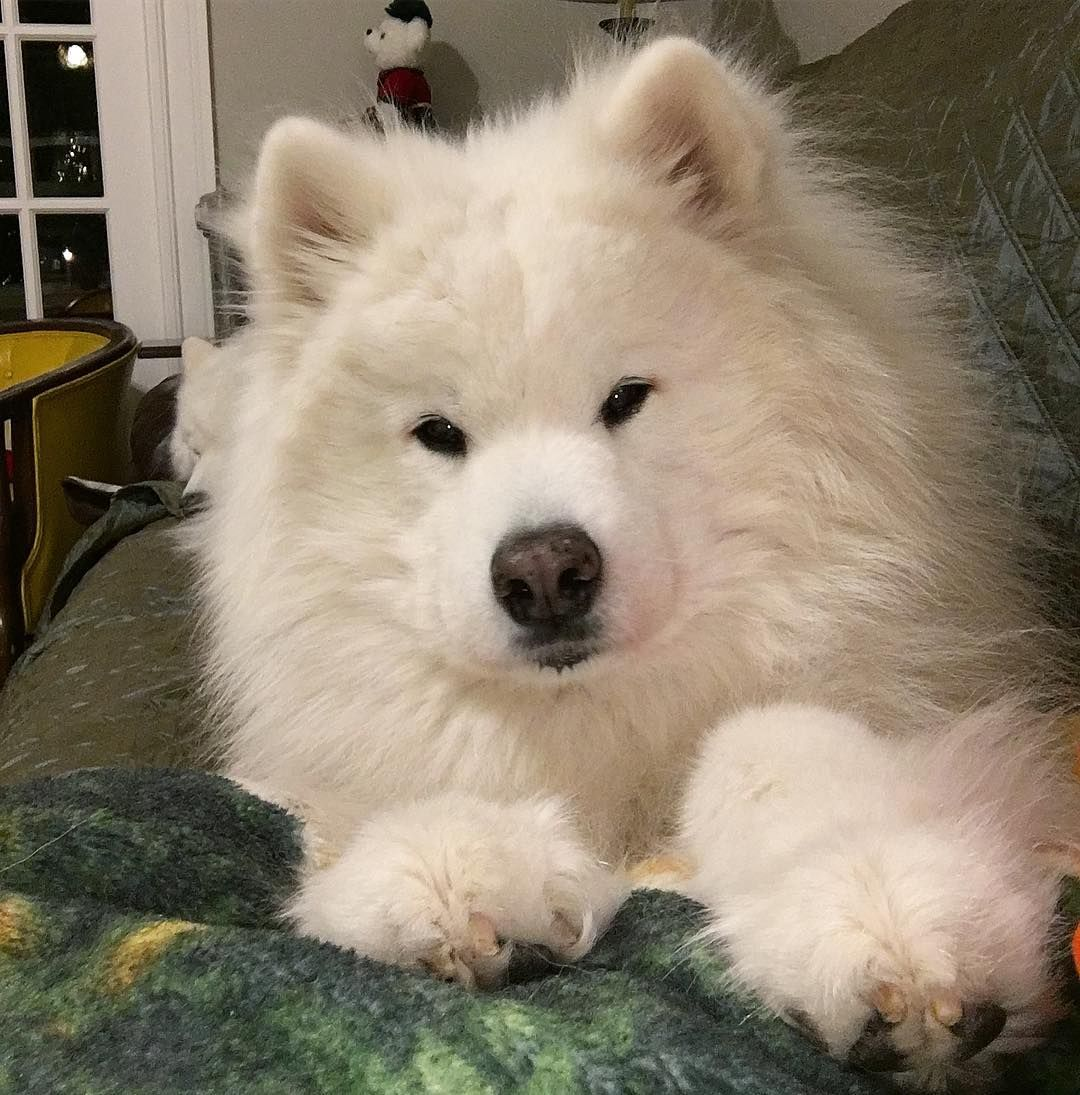 Snuggling Is The Best Way To Keep Warm Samoyed Dogs Samoyed