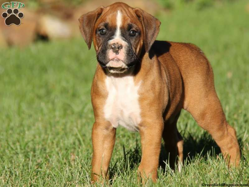 Natalie Boxer Puppy For Sale From Narvon Pa Boxer Puppies