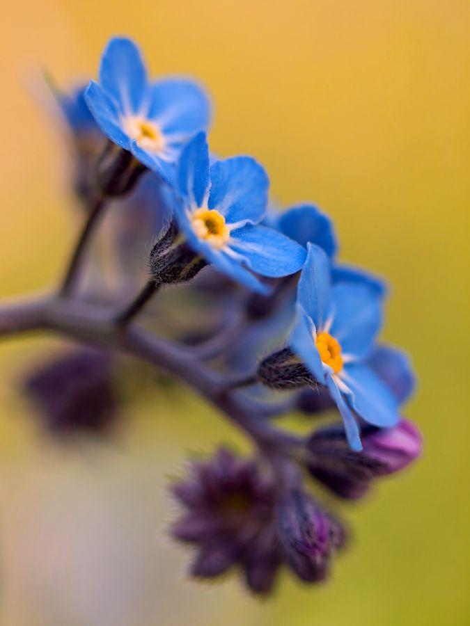 No Me Olvides Flores Jardin Flores Significado De Las Flores