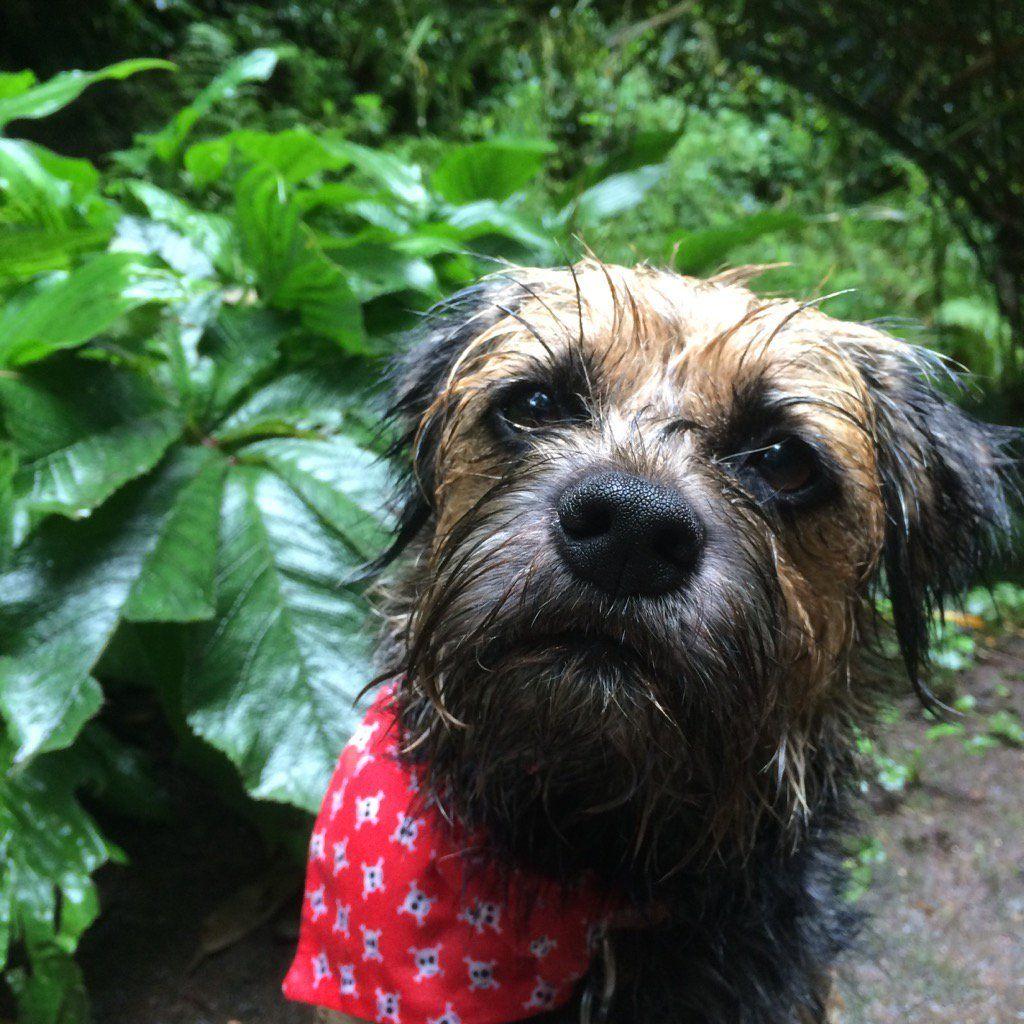 Tobi Lerone On Brown Dog Border Terrier Terrier