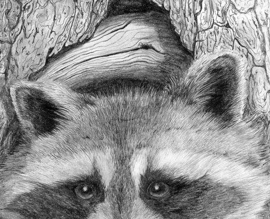 sketches on racoons | Raccoon Wildlife Drawings & Paintings