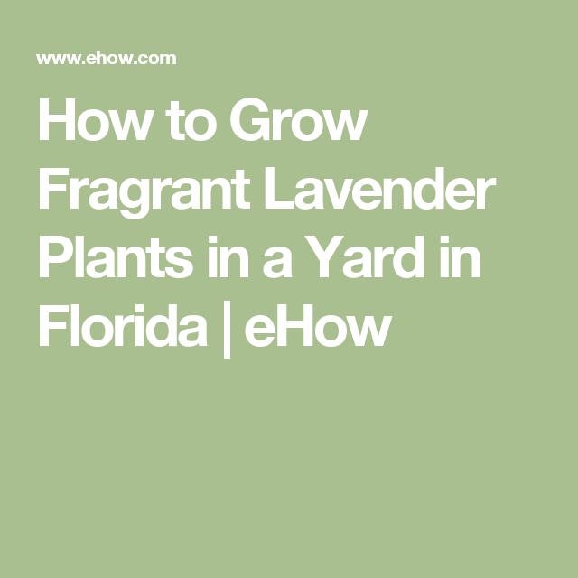How to Grow Fragrant Lavender Plants in a Yard in Florida