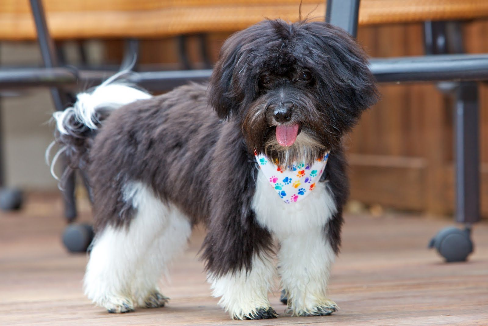 Havanese Haircuts for Faces Love Is Being Owned By A