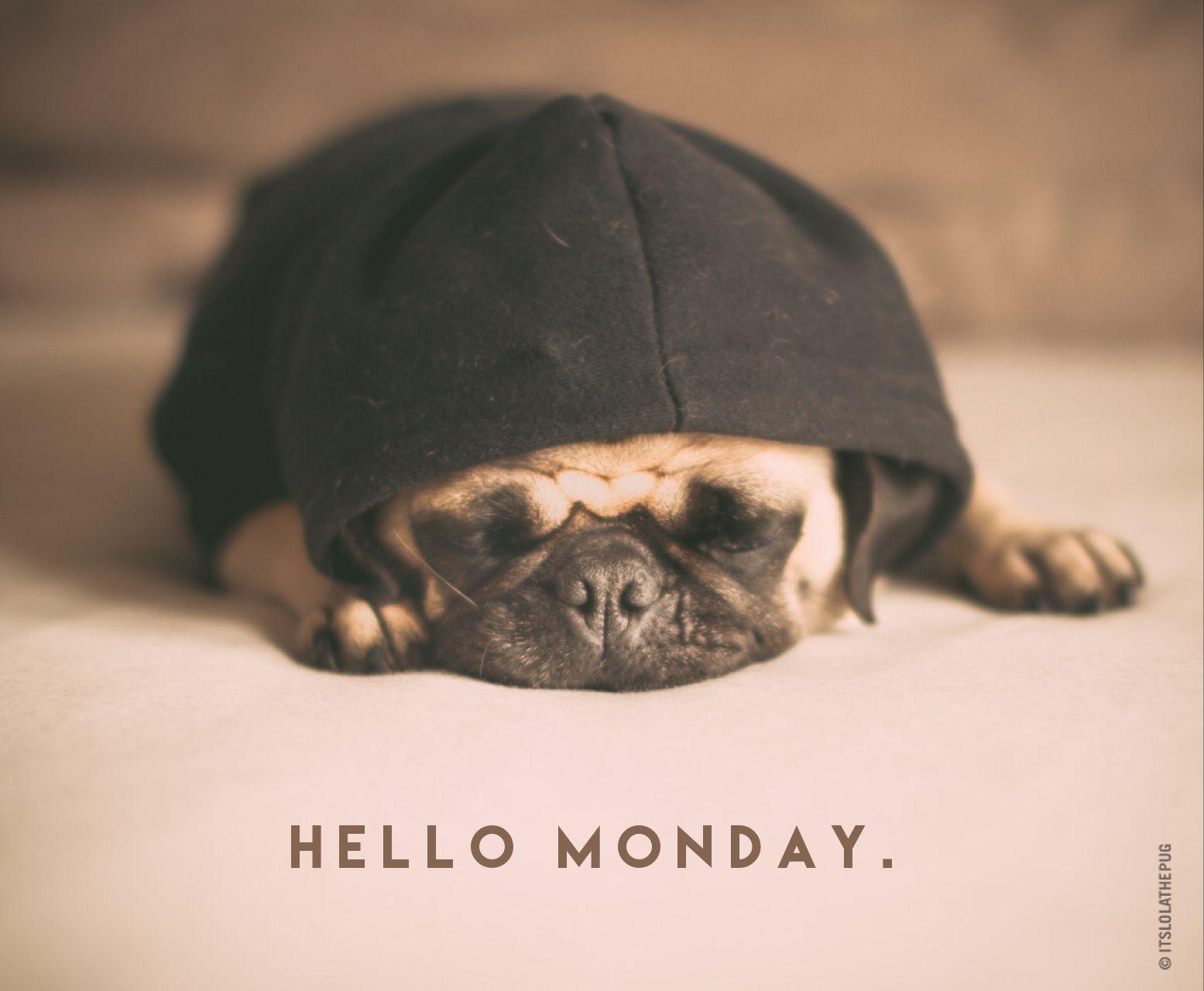 Hello Monday. | Cute pugs, Pet pug, Pug love
