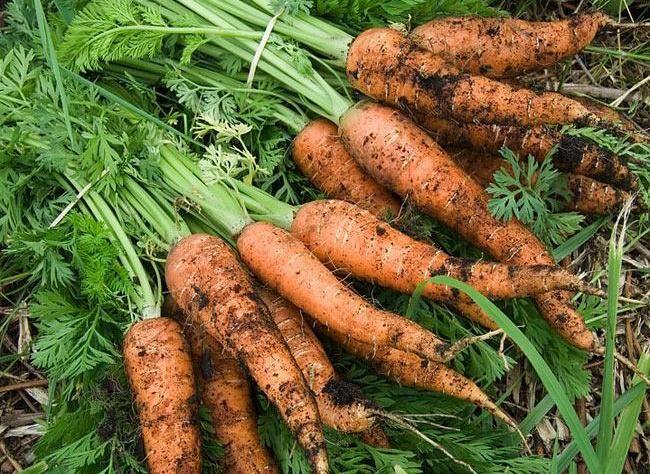planter la carotte en pot ou jardini re fruits. Black Bedroom Furniture Sets. Home Design Ideas