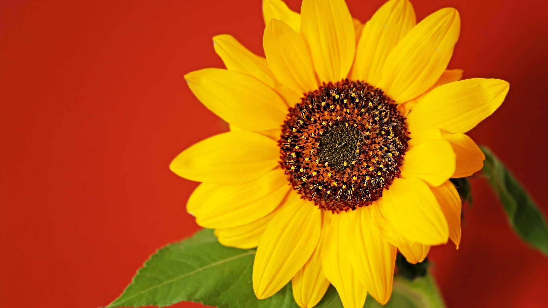 Sunflower With Red Background Sunflowers Background Red Background Sunflower Wallpaper