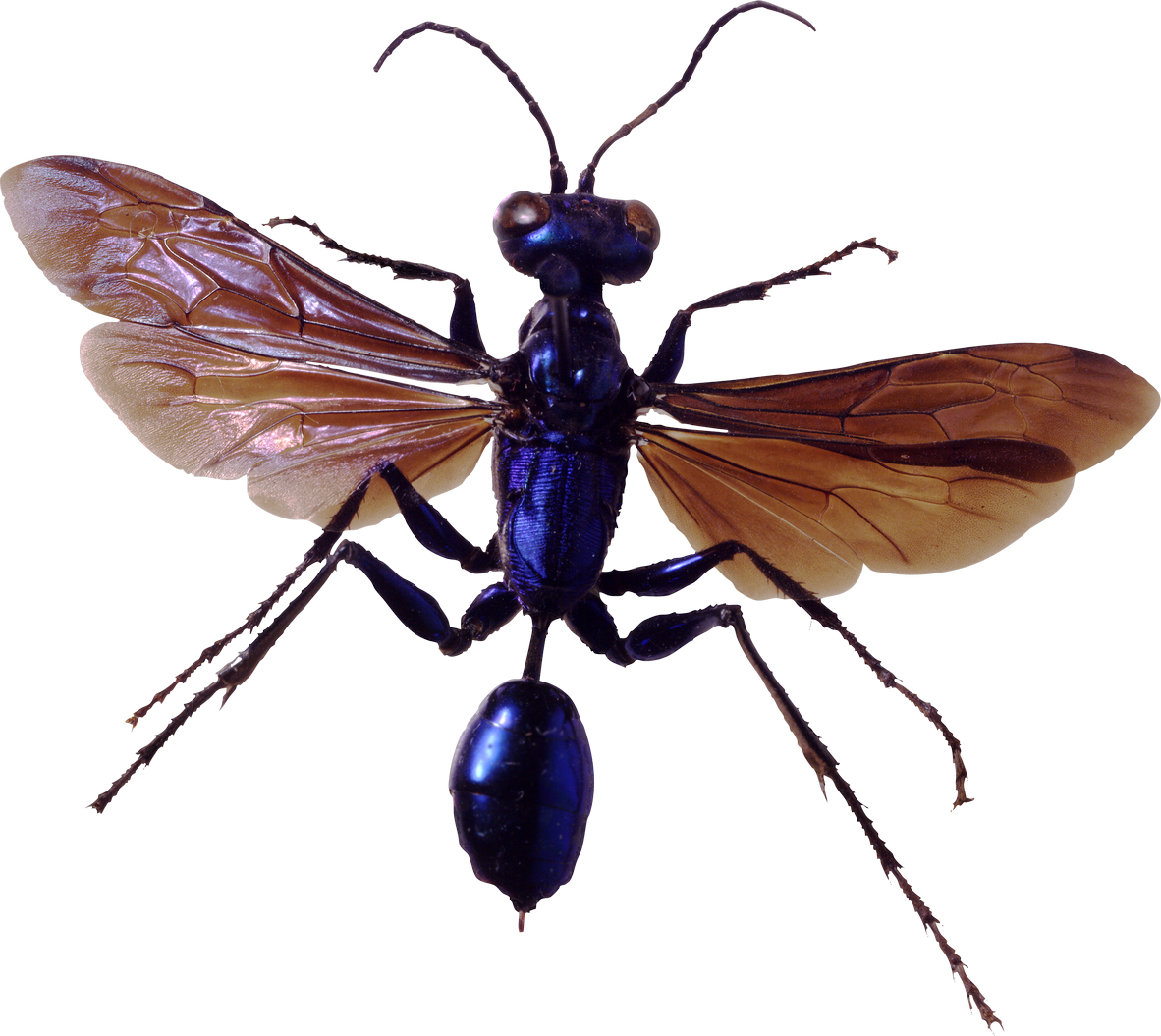 Bug Png Image Mud Wasp Bee Wasp Hornet