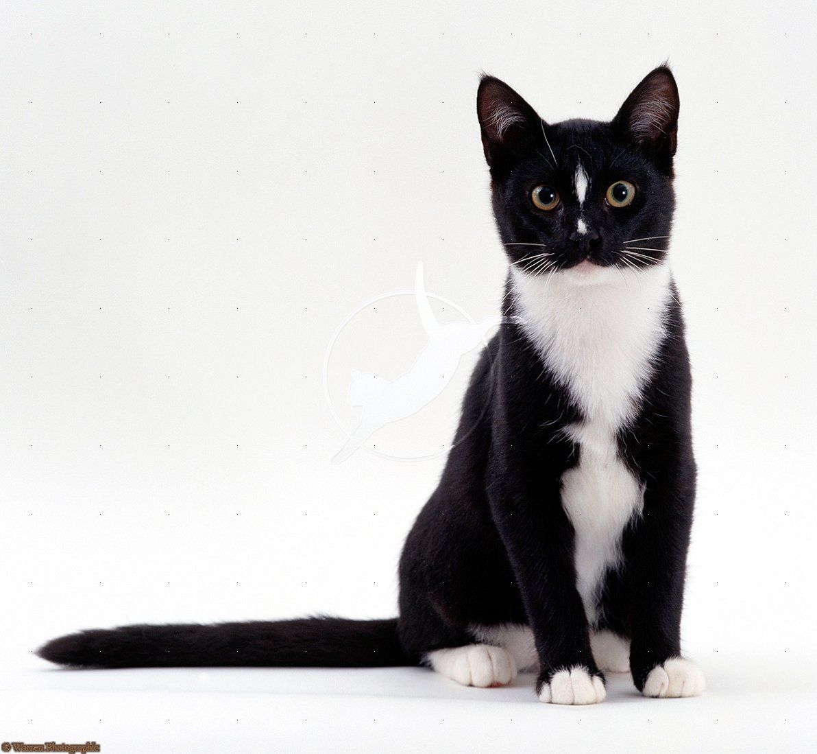 Tuxedo Cat Cats Cat Sitting Tuxedo Cat
